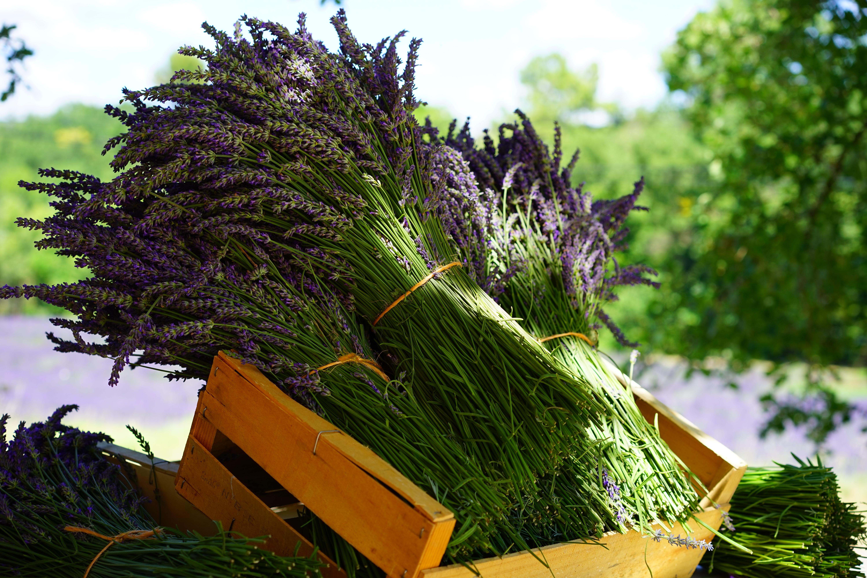 lavender-1595608.jpg