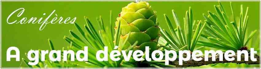 Conifères à grand développement