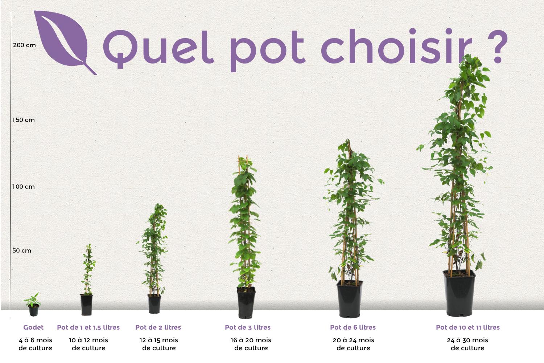 planter une clematite en pot