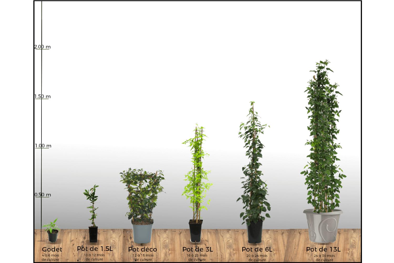 100 Remarquable Suggestions Comment Planter Une Passiflore En Pot