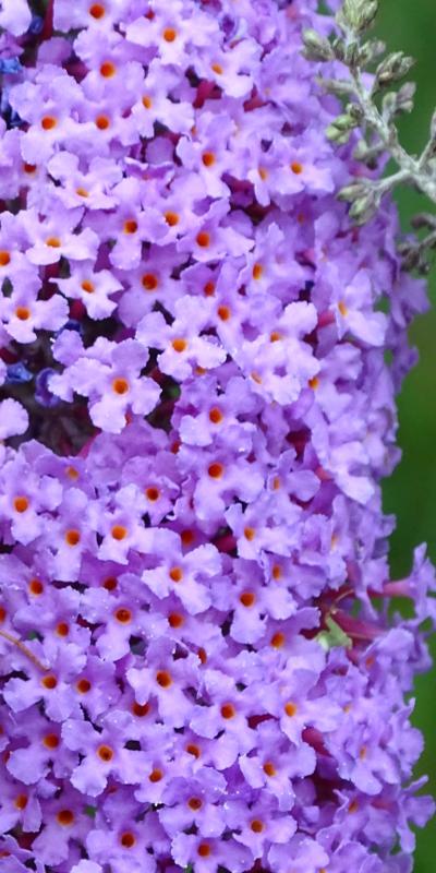 Buddleja ou arbre aux papillons