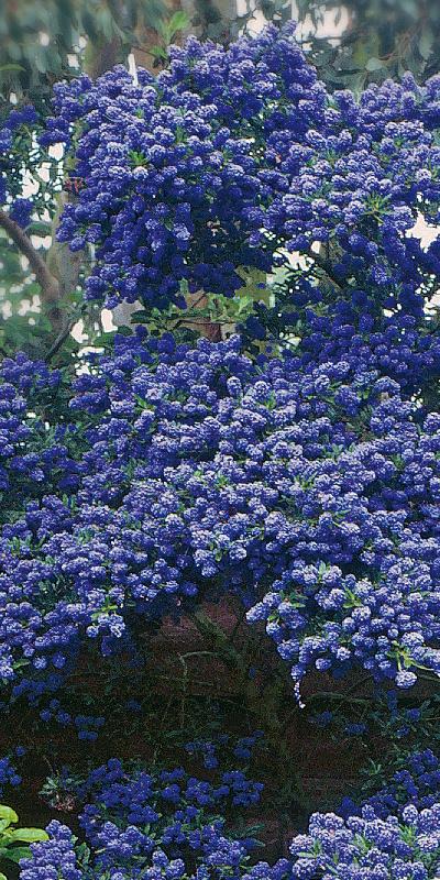 la ceanothe un arbuste id al pour voir la vie en bleu sp cialiste des plantes. Black Bedroom Furniture Sets. Home Design Ideas