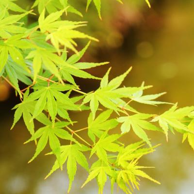 Erable du Japon, Acer palmatum