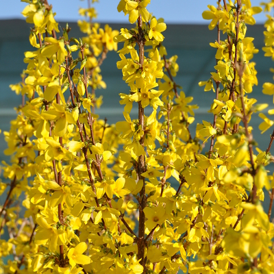 Forsythia de Paris