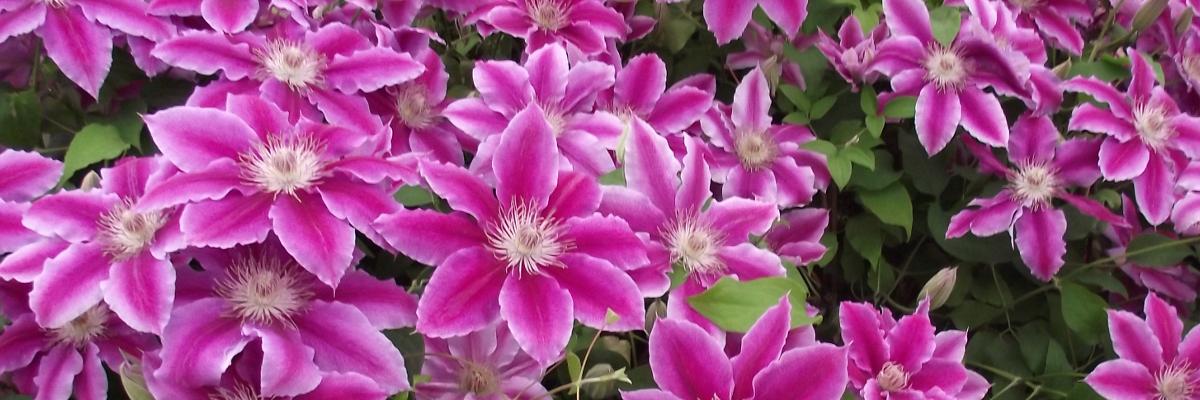 Clématite à grandes fleurs