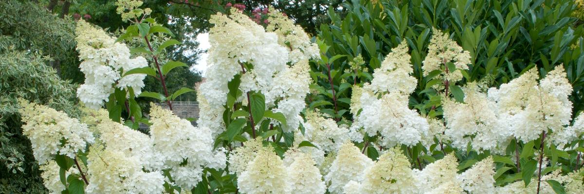 Hydrangea paniculata ou hortensia paniculé