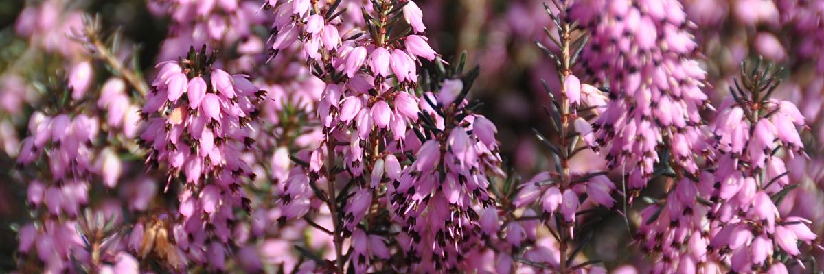 Erica darleyensis ou bruyère d'hiver