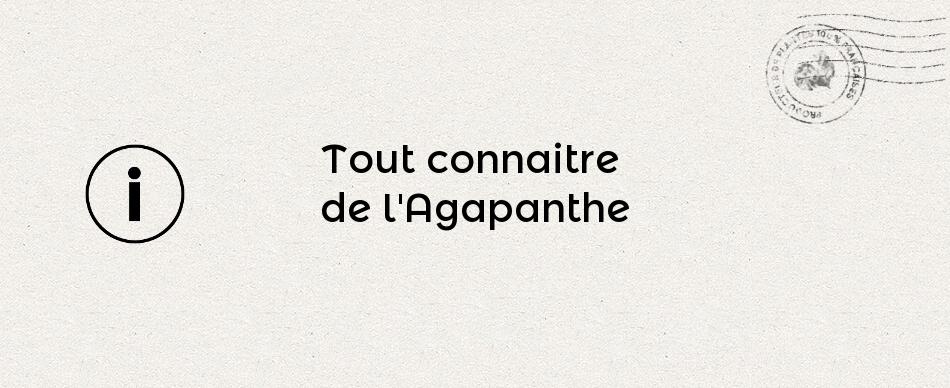 Tout connaître de l'Agapanthe