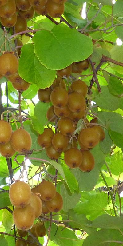 Kiwi ou actinidia Solissimo®