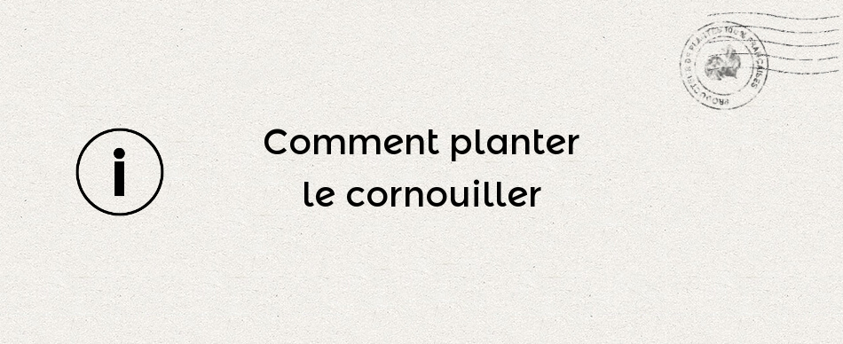 Comment planter le cornouiller