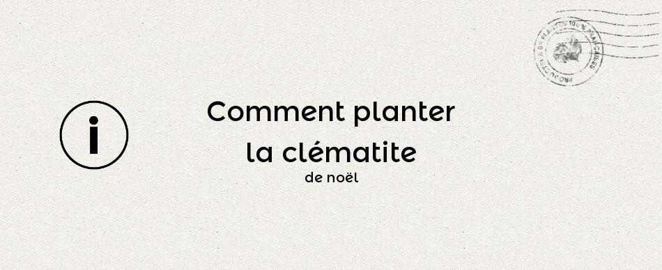 Comment planter la clématite de noël ou clématite cirrheuse