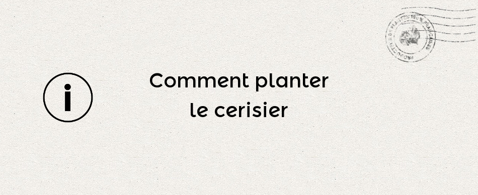 Comment planter le cerisier