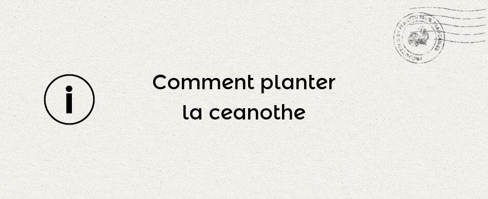 Comment planter la ceanothe