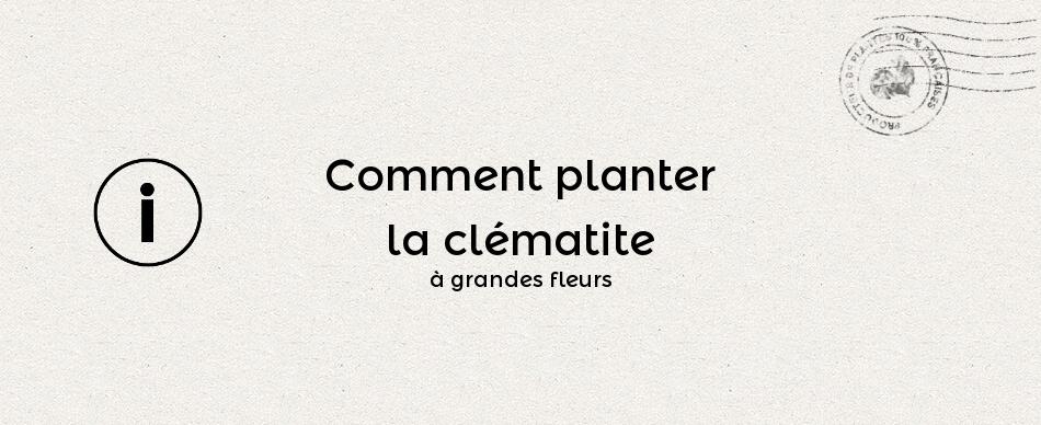 Comment planter la clématite à grandes fleurs