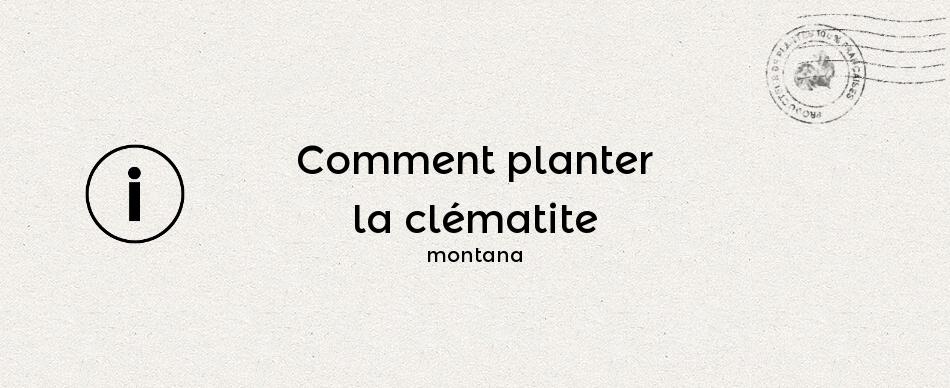 Comment planter la clématite montana