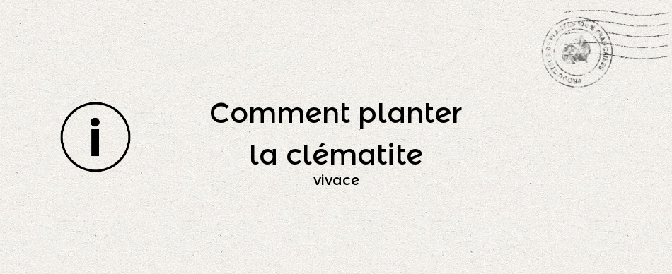 Comment planter la clématite vivace