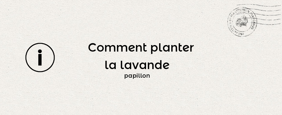 Comment planter la lavande papillon