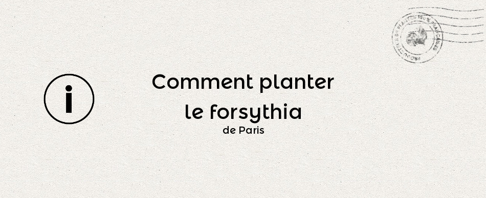 Comment planter le forsythia de Paris