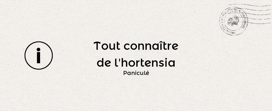 Tout connaître de l'hydrangea paniculata ou hortensia paniculé