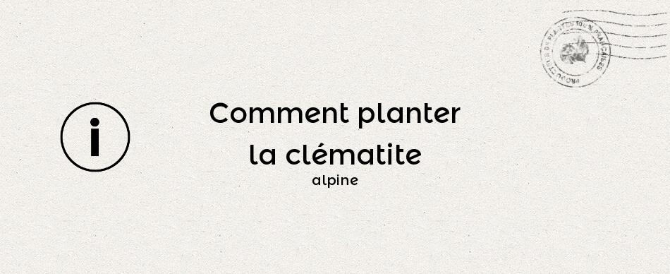 Comment planter la clématite des Alpes