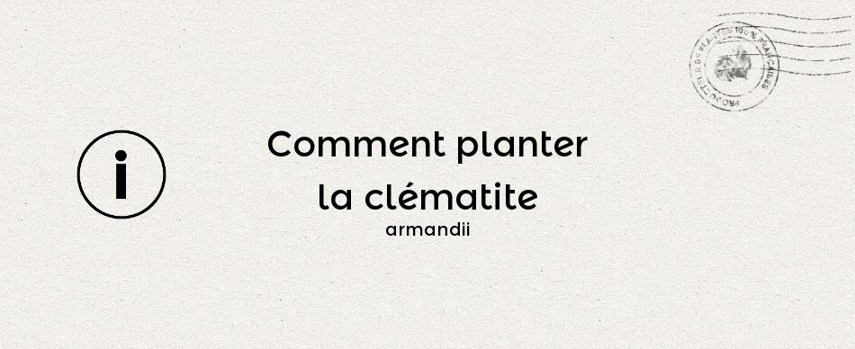 Comment planter la clématite armandii