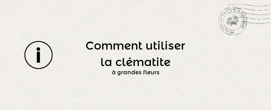 Comment utiliser la clématite à grandes fleurs ?