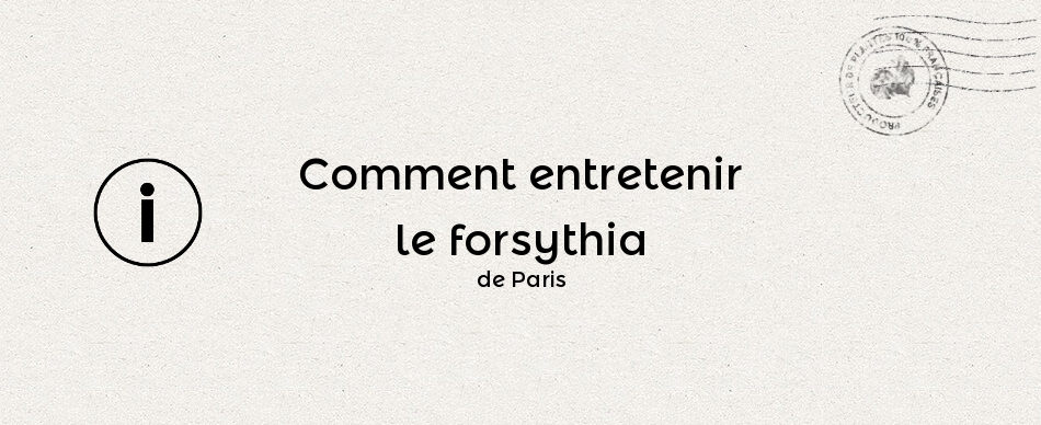 Comment entretenir le forsythia de Paris