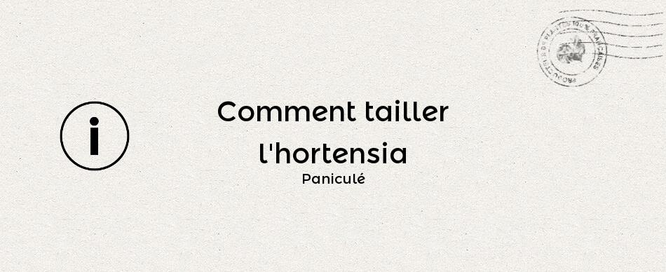 Comment tailler l'hydrangea paniculata ou hortensia paniculé
