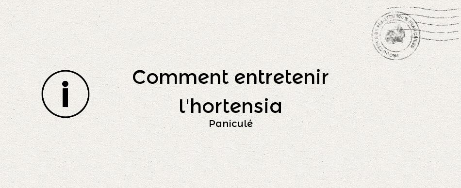 Comment entretenir l'hydrangea paniculata ou hortensia paniculé