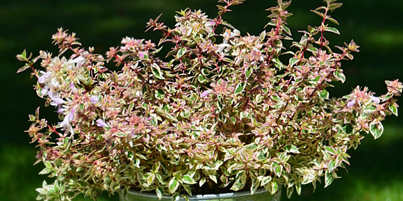 Tout Connaître De Labelia Un Arbuste Indispensable Au Jardin