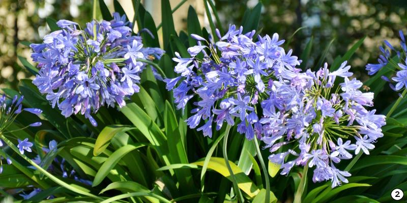 Fleurs d'agapanthes