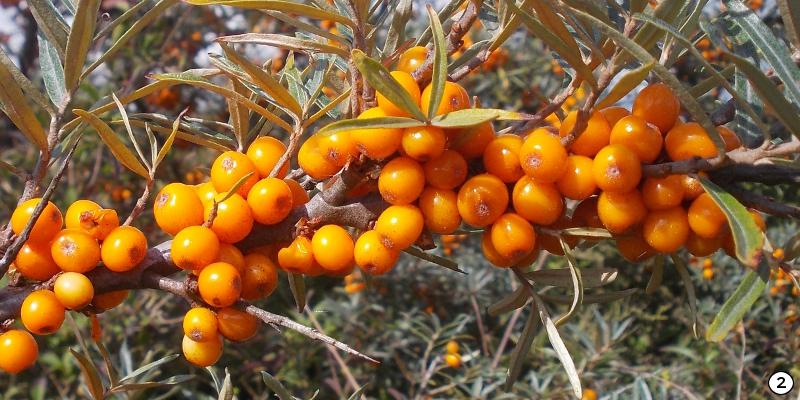 Argousier rhamnoides Hergo