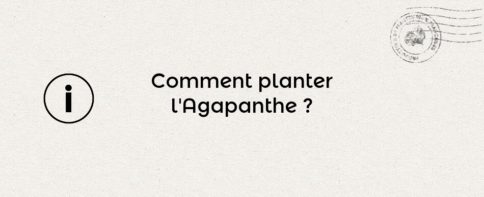 Comment planter l'Agapanthe