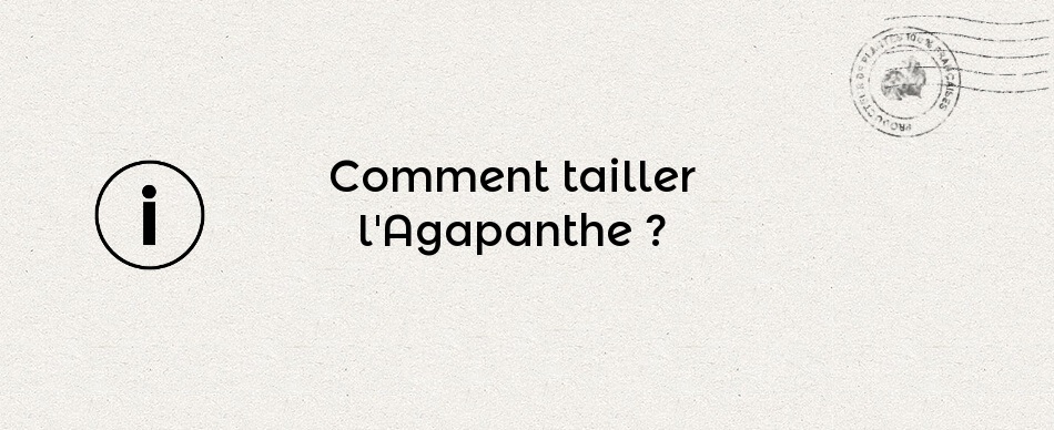 Comment tailler l'Agapanthe
