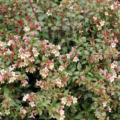 Abélie à grandes fleurs grandiflora Sunny Charm® 'Minduo1''