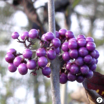 Arbuste aux bonbons bodinieri var. giraldii Profusion