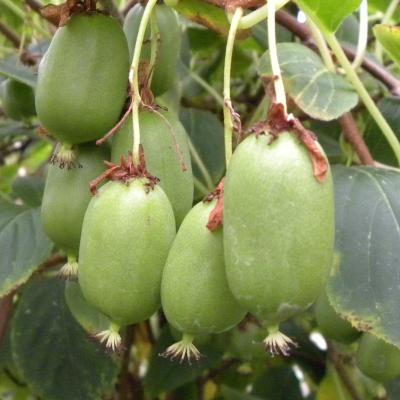 Kiwi ou actinidia Super Issai