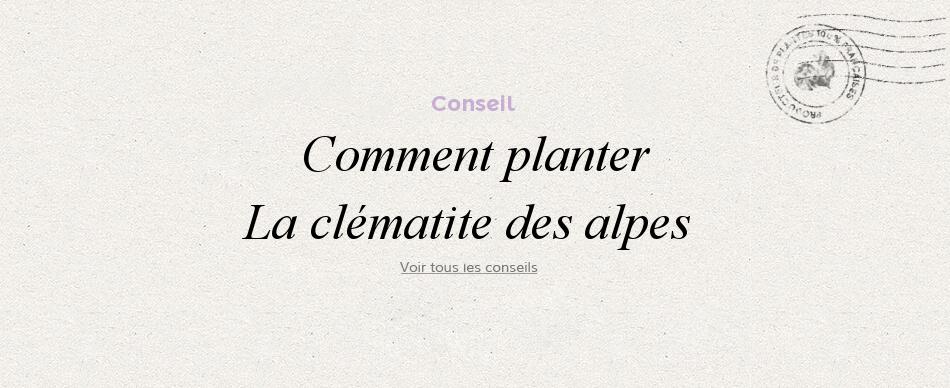 Comment planter les clématites des alpes