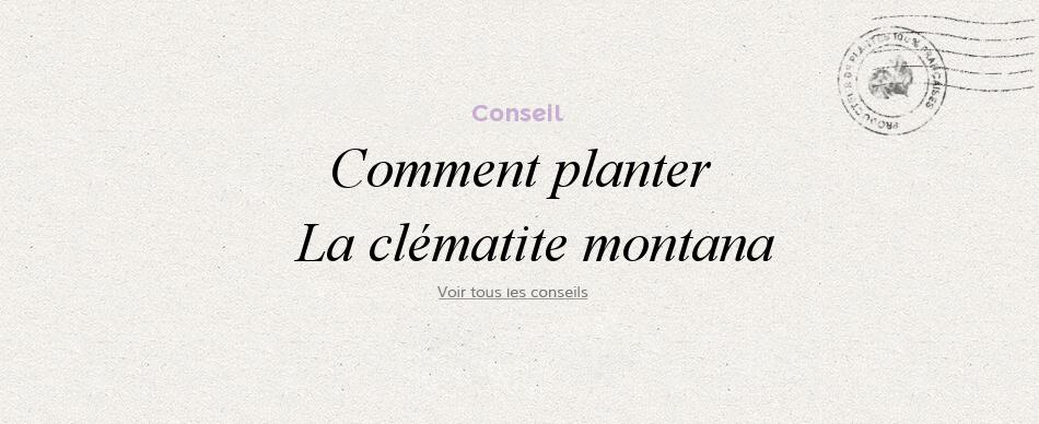 Comment planter les clématites montana