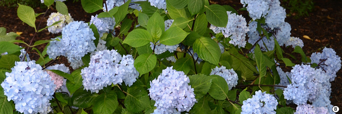 Hortensia macrophylla So Long® Ebony 'MONMAR'