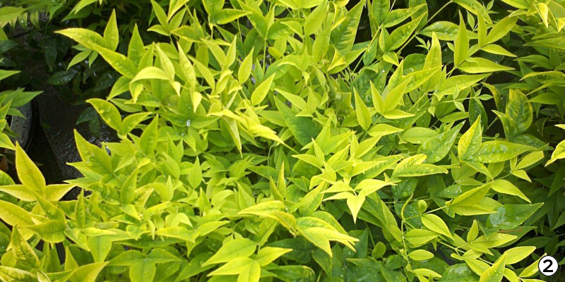 Bambou sacré domestica MAGICAL® Lemon-Lime 'Lemlim'